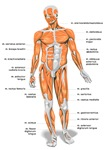 Human Anatomy Muscles
