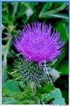 Thistle, purple flower