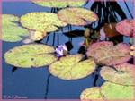 Waterlilies, beautiful, photo,