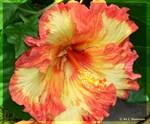 Hibiscus! Beautiful flower photo!