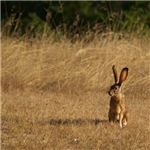 Sitting Jackrabbit