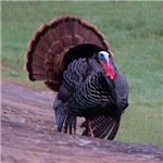 Strutting Tom Turkey