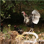 Wild Turkey Wingspread