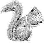 Squirrel Sketch