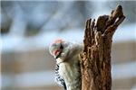 Cute Winter Woodpecker