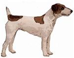 Fox terrier portrait