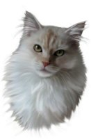 Cameo cream Maine Coon