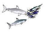 Two Shark Tuna Attack