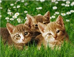 Daisy Kittens Cards