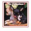 Chihuahua Puppies Image