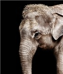 Elephant Photo Sideways Prints Cards, Trays, Buttons, Stickers, Magnets, and more!