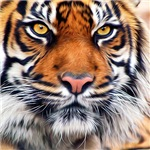 Siberian Tiger Male Painting Photo Prints, Cards, Trays, Buttons, Stickers, Magnets, and more!