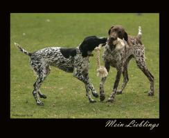 Mein Liebling/German Shorthair Pointer