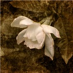 Cape Jasmine Gardenia