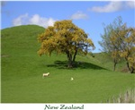 Sheep & kowhai