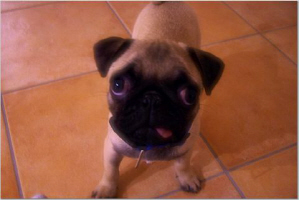 PUGS ONLY!!!