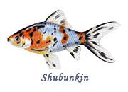 Shubunkin