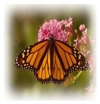 Butterfly, Butterflies