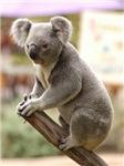 Koala Bear Merchandise