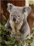 Koala Bear 9