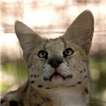 White Footed Serval