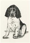 Darcy - Baby Springer Spaniel