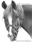 Rosa, Arabian Horse