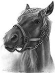 Ranger, Arabian-Tennessee Walker