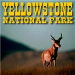 Yellowstone National Park Prong Horn