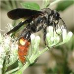 Digger Wasp