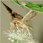 Moth Feeding On Boneset