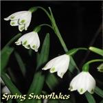 Spring Snowflakes, Leucojum vernum