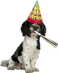 Havanese Birthday Cards