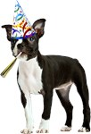 Boston Terrier Birthday