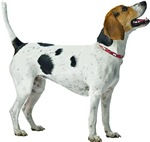 American Foxhound Photo