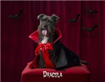 Dracula Scottie Gifts