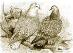 Frillback Pigeons