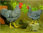 Barred Rock Rooster and Hen