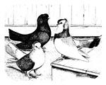Koros Tumbler Pigeons