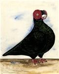 Black Barb Pigeon
