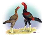 Malay Rooster and Hen