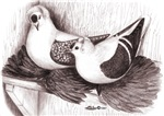 Saxon Fairy Swallow Pigeons