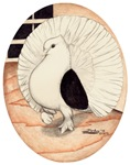 70s Indian Fantail Pigeon