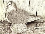 White Frillback Pigeon