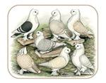 Classic Frill Pigeons Satinettes