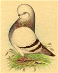 Tumbler CL Barred Pigeon
