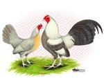 Fawn Duckwings