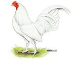 White OE Cock
