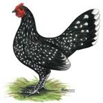 OE Mottle Hen