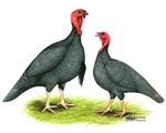 Blue Slate Turkeys